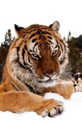 El tigre pendant la visite du président Colombien à son chevet